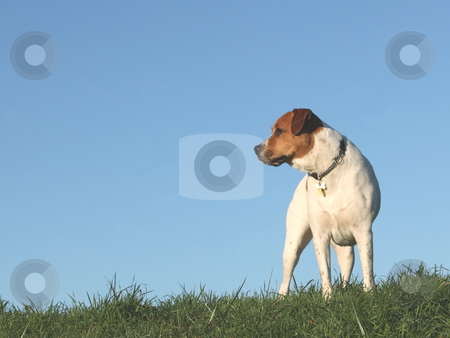 Brown and white dog, stock photo, Brown and white dog looking along a grassy bank by Mike Smith