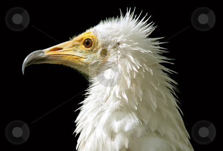 Egyptian vulture stock photo, White head of egyptian vulture over black by Dejan Lazarevic