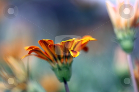 Gazania stock photo, Beautiful orange yellow gazania flower with view from below by Henrik Lehnerer