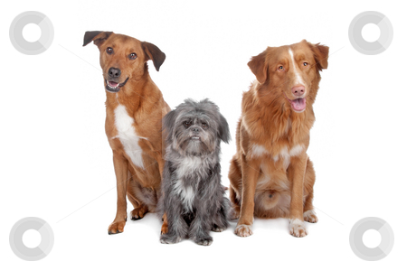 Two mix dogs and a Nova Scotia Duck Tolling Retriever stock photo, Two mixed breed dogs and a Nova Scotia Duck Tolling Retriever isolated on a white background by Erik Lam