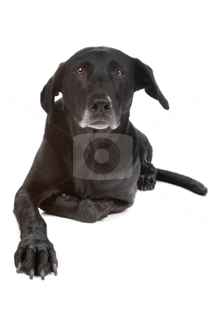 Mixed breed dog stock photo, Mixed breed dog lying, looking at camera, isolated on a white background by Erik Lam
