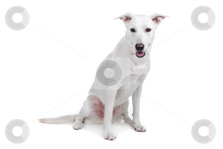Mixed breed dog, white shepherd labrador stock photo, Mixed breeds
