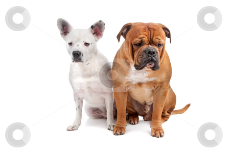 Old english bulldog, mix french bulldog/cattle dog stock photo, Old english bulldog, mix french bulldog/cattle dog lying on front isolated on a white background by Erik Lam