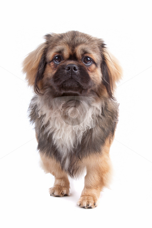Tibetan Terrier dog stock photo, Front view of cute Tibetan Terrier dog stepping, isolated on a white background by Erik Lam