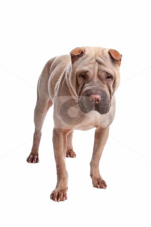 Shar pei dog stock photo, Shar pei isolated on a white background by Erik Lam