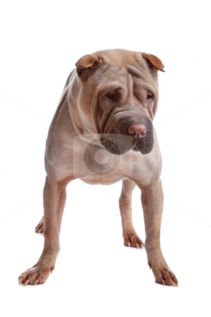 Shar pei dog stock photo, Shar pei isolated on a white background by Erik Lam