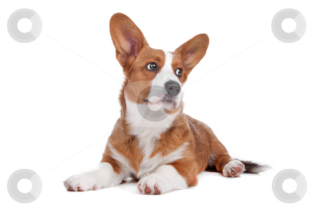 Welsh Corgi dog stock photo, Welsh Corgi dog lying and looking sideways, isolated on a white background by Erik Lam