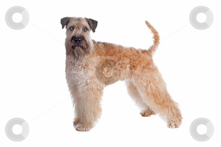 Soft coated wheaten terrier dog stock photo, Soft Coated Wheaten Terrier dog isolated on a white background by Erik Lam