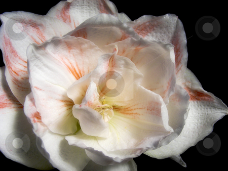 Striped Amaryllis stock photo, A bright orange and white striped amaryllis flower. by Mary Lane