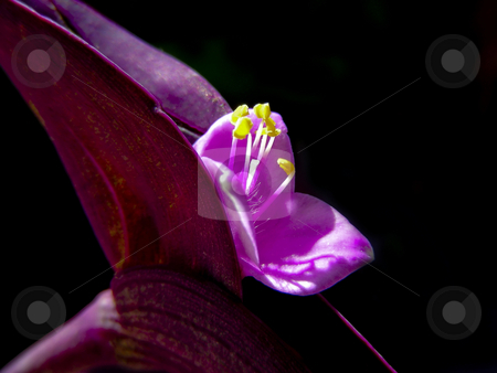 Wandering Jew stock photo, Closeup of the tiny mauve flowers of a Wandering Jew plant. by Mary Lane