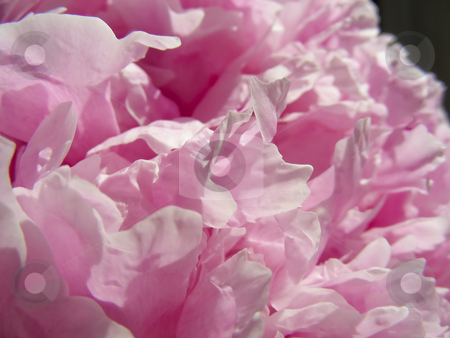 Peony petals stock photo, A closeup view of some pretty pink peony petals. by Mary Lane