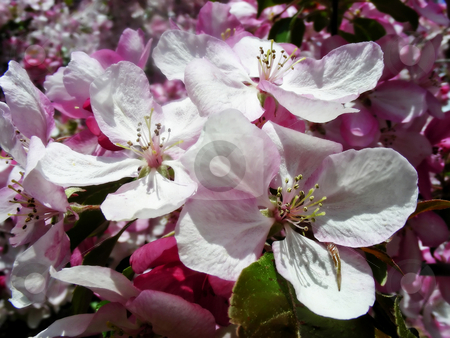Lush Cherry Blossoms stock photo, A branch full of pretty pink cherry blossoms. by Mary Lane