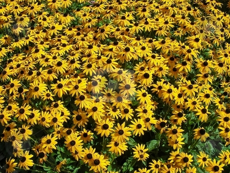 Bown Eyed Susans stock photo, A carpet full of sunny brown eyed susans. by Mary Lane