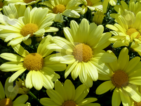 Yellow Daisies stock photo, Very cheerful looking, a bed full of bright yellow daisies. by Mary Lane