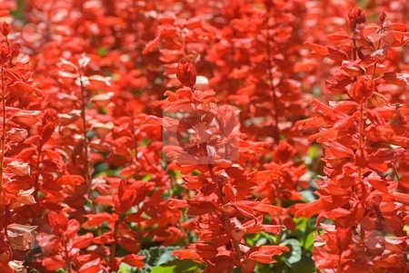 Firecrackers stock photo, A bed full of bright red firecracker flowers. by Mary Lane