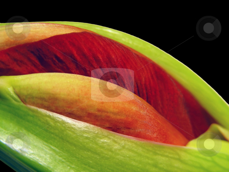 Red Bud stock photo, Closeup of a red amaryllis bud, just as it begins to open. by Mary Lane