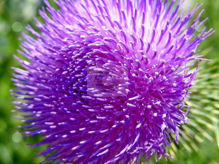 Thistle stock photo, Swirls on the top of a purple thistle flower. by Mary Lane