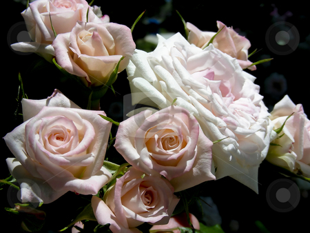 Rose Bouquet stock photo, So many lush pink roses they look like a bouquet. by Mary Lane