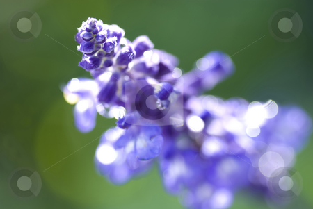 Lavendar stock photo, Closeup of a sprig of lavender, full of flowers. by Mary Lane