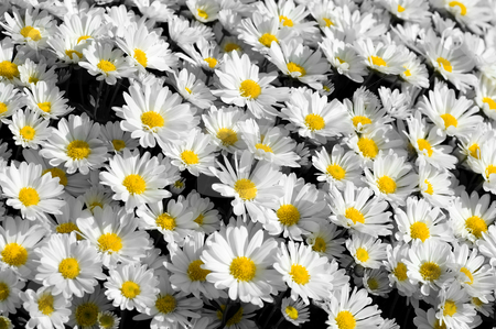 Carpet of Daisies stock photo, A carpet of prettywhite daisies facing upwards to the sun with an emphasis on the bright yellow centers. by Mary Lane