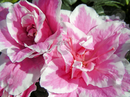 Azalea stock photo, A pair of lush pink double azalea flowers. by Mary Lane