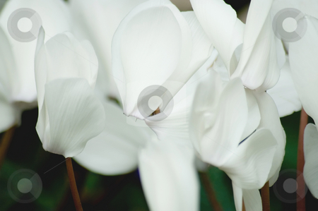 Cyclamen stock photo, Closeup of white cyclamen flowers. by Mary Lane