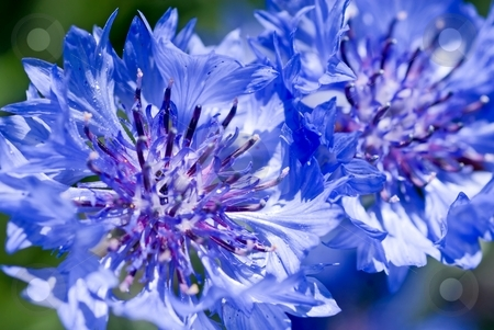 Blue Cornflower stock photo, Closeup of a couple of pretty blue cornflowers. by Mary Lane