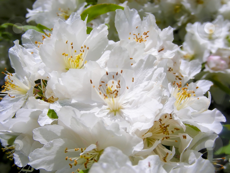 Cherry Blossoms stock photo, A branch full of delicate white cherry blossoms. by Mary Lane