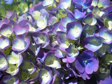 Hydrangea stock photo, A pot brimming full of blue and purple hydrangea flowers. by Mary Lane