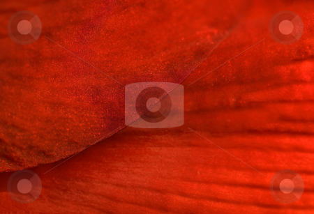 Red Texture stock photo, Bumps, shine and veins make a glorious pattern on an red amaryllis petal by Mary Lane