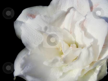 White Amaryllis stock photo, A lovely soft white amaryllis flower. by Mary Lane