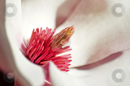 Saucer Magnolia stock photo, The soft pink curves of a lovely saucer magnolia flower. by Mary Lane