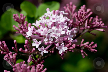 New Lilac stock photo, Pretty, fragrant flowers on a newly budding lilac bush. by Mary Lane