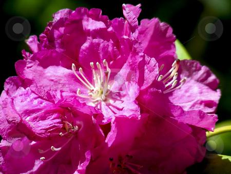 Deep Pink Rhododendron stock photo, A pretty tree full of deep pink rhododendron flowers. by Mary Lane