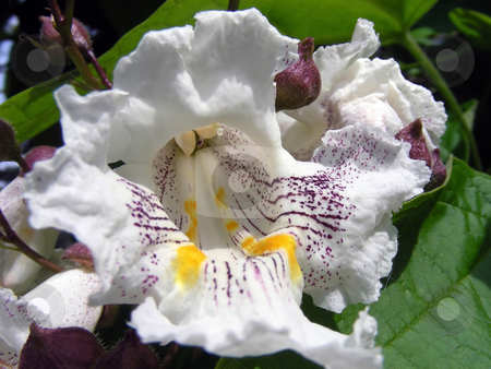 Vanilla Flower stock photo, Lush, exotic flower on a vanilla tree. by Mary Lane