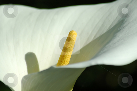 Cala Lily stock photo, Closeup of a lovely cala lily. by Mary Lane