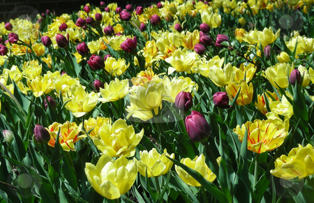 Tulip Garden stock photo, A bright garden full of yellow and purple spring tulips. by Mary Lane