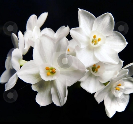 White Beauty stock photo, Isolated bunch of paperwhite flowers on black. by Mary Lane