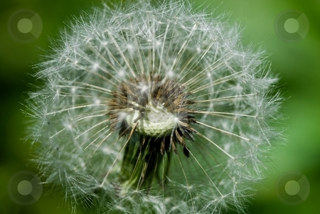 Dandelion stock photo, Closeup of the center of a dandelion, gone to seed. by Mary Lane