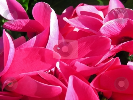 Cyclamen stock photo, A veritable carpet of pink and satiny soft cyclamen petals. by Mary Lane