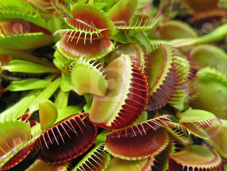 Fly Traps stock photo, Weird little plants, a crop of Venus Fly Traps. by Mary Lane