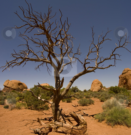 Desert Landscape stock photo, A gnarly old tree sprouting out of the desert floor - Arches National Park, Moab, Utah. by Mary Lane