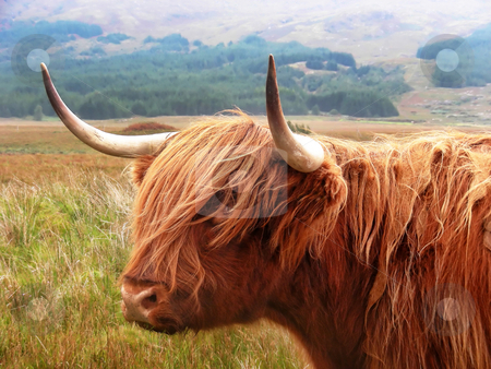 Highland Cattle stock photo, Just standing on the road staring at you - highland cattle on the Isle of Mull, Scotland. by Mary Lane