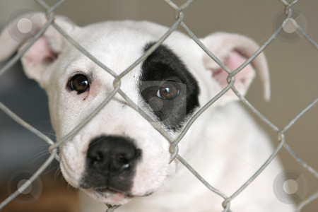 Puppy in a pen stock photo, Homeless animals series. Young staffordshire terrier mixbreed pup looking out through the wire mesh of his pen by suemack