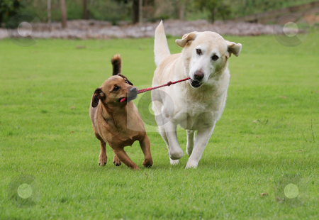 Dogs playing tug with rope toy stock photo, Labrador and a terrier dog playing tug with a rope toy by suemack