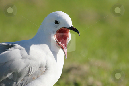 Seagull shouting stock photo, Black billed seagull shouting. The blackbill is a protected species in New Zealand by suemack