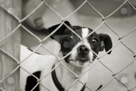 Dog in a pen stock photo, Homeless animals series. Terrier dog looking out through the wire mesh of his pen. Black and white image by suemack