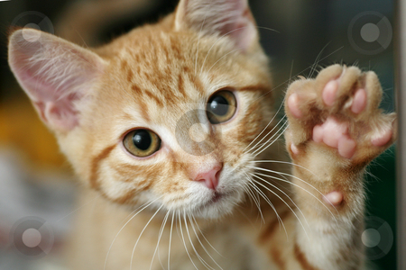 Kitten with his paw raised stock photo, Cute ginger kitten with his paw raised waving by suemack