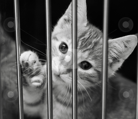 Kitten in a cage stock photo, Tabby kitten looking out of his cage with his paw up. Black and white image by suemack