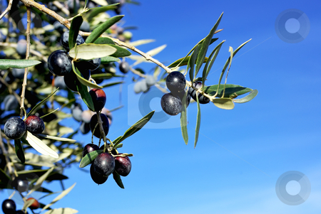 Mature olives on branch. stock photo, Mature olives on branch in blue sky. by Inacio Pires